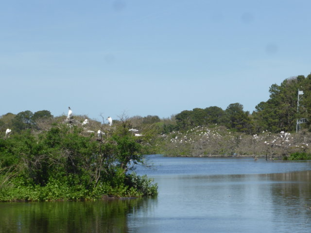 Wood Stork and Egret Rookery