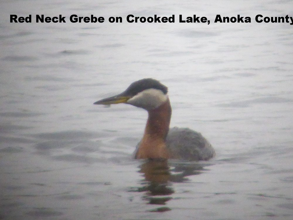 Red-necked Grebe 2018 MN Crooked Lake.JPG