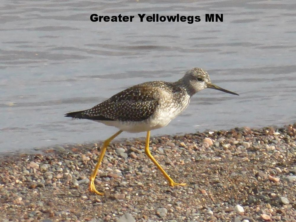 Greater Yellowlegs Park Point Duluth MN Oct 2018 1 compressed.JPG