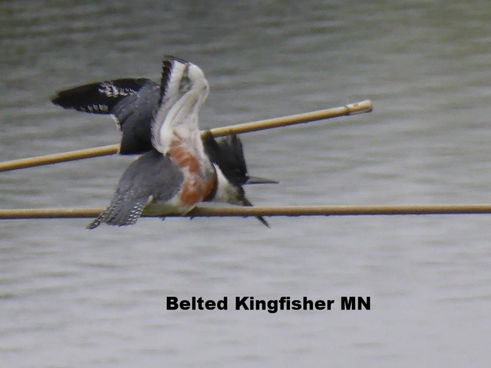 Belted Kingfisher MN 2018 1 compressed.JPG