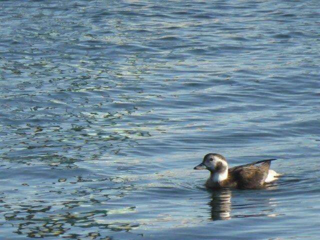 Long-tailed Duck (#401)
