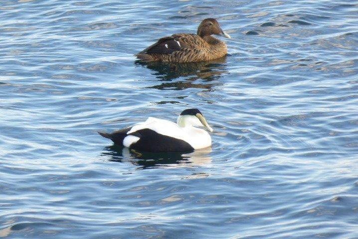 Common Eider pair (#397)