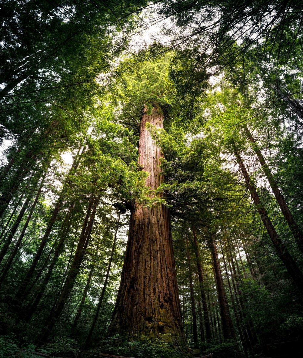 Trees of Mystery, California
