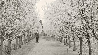 Charles Weston with flowering plum trees, Yarralumla Nursery. Photo National Archives.