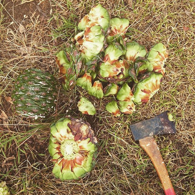 Foraged some bunya nuts on my way home! Now to roast them