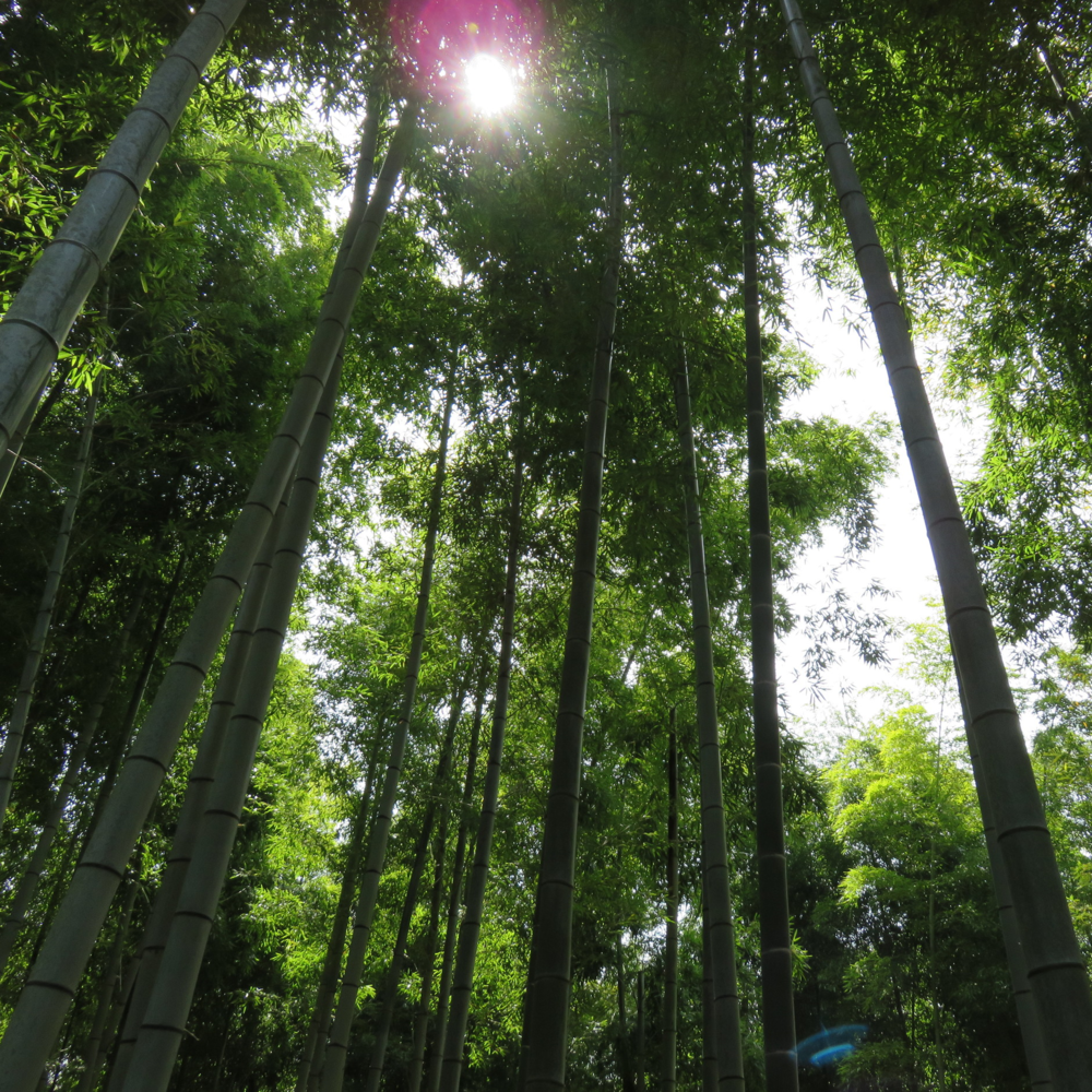 Bamboo Grove, Kyoto.