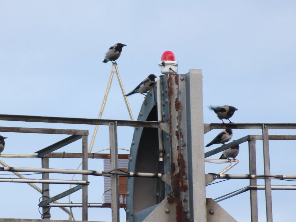 A flock of magpies at the top of the tower.