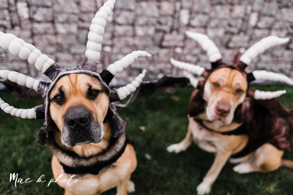 mae and lou's game of thrones fall october halloween pregnancy announcement with dog halloween dragon costumes diy dog costumes diy dragon costumes and daenerys targaryen mother of dragons dragon eggs and jon snow king of the north-56.jpg