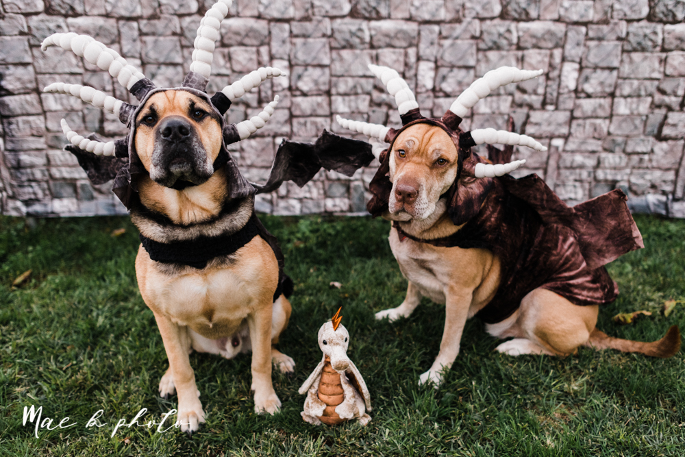 mae and lou's game of thrones fall october halloween pregnancy announcement with dog halloween dragon costumes diy dog costumes diy dragon costumes and daenerys targaryen mother of dragons dragon eggs and jon snow king of the north-54.jpg