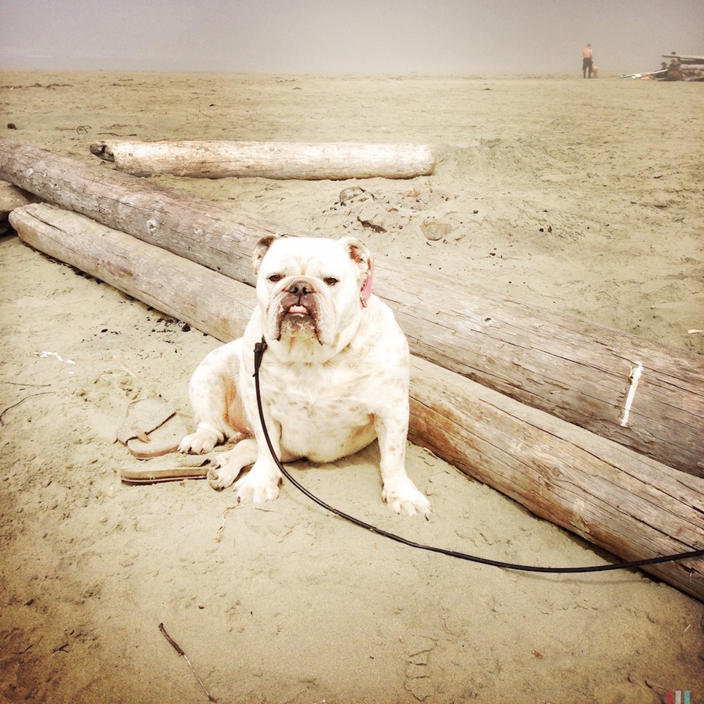 Bulldog at Tofino Beach