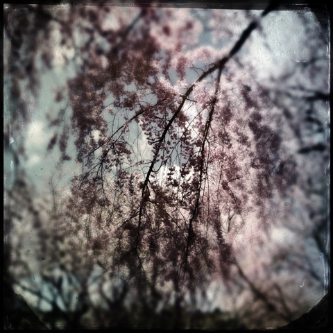 Cherry Blossoms/2
