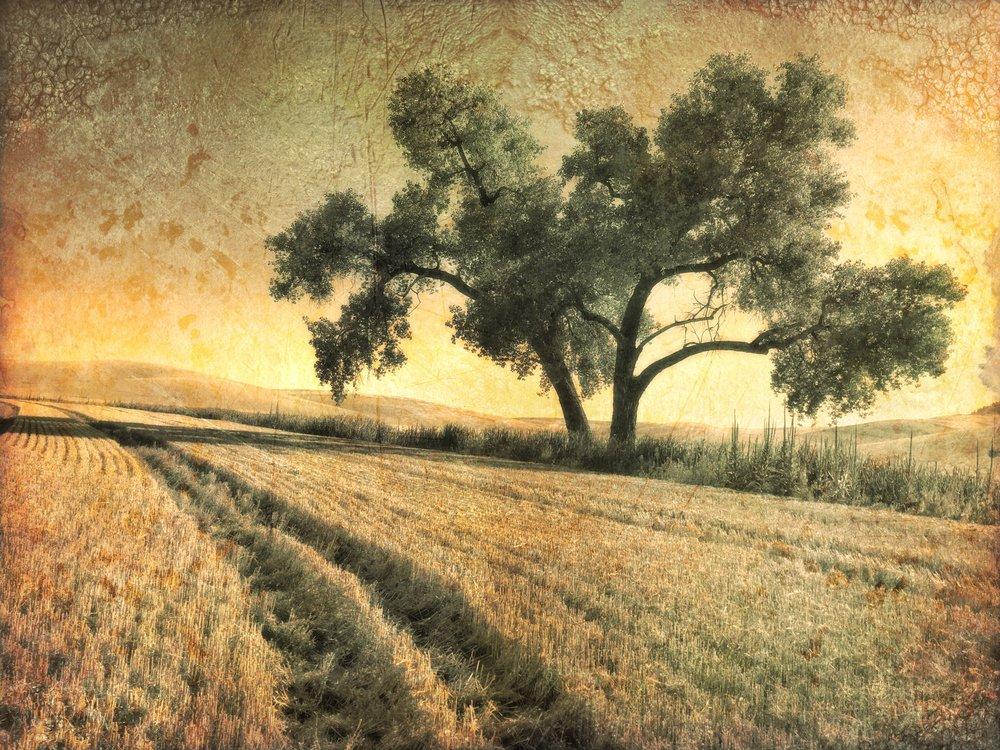 Lone Tree in the Wheat Field