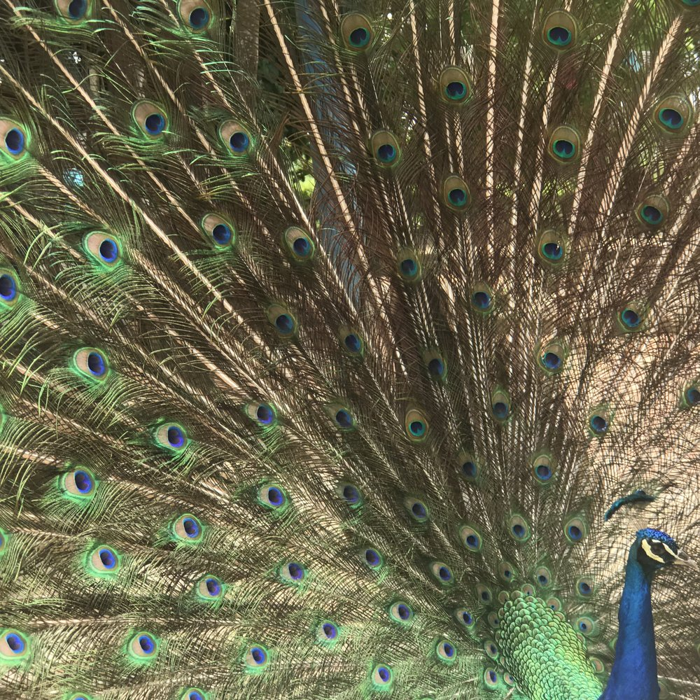 Copy of The Peacock
