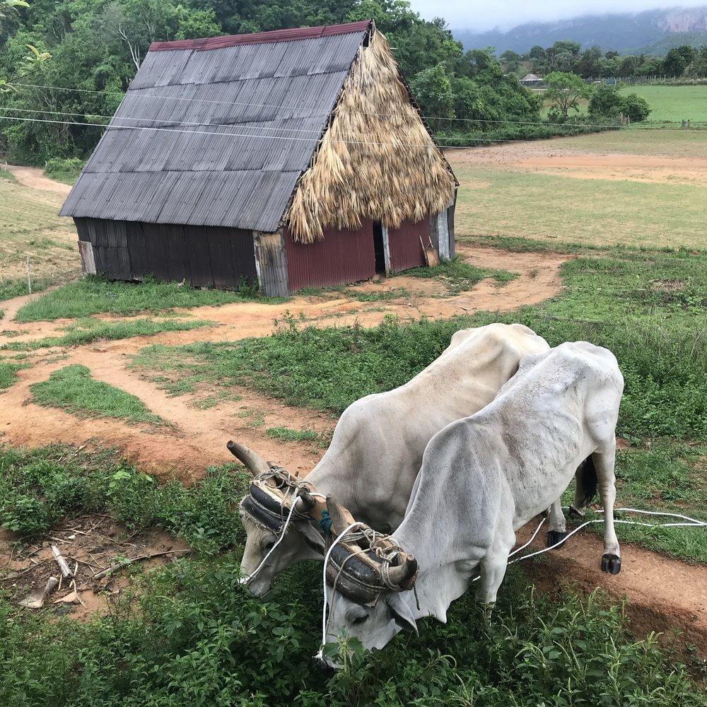 Oxen in Viñales