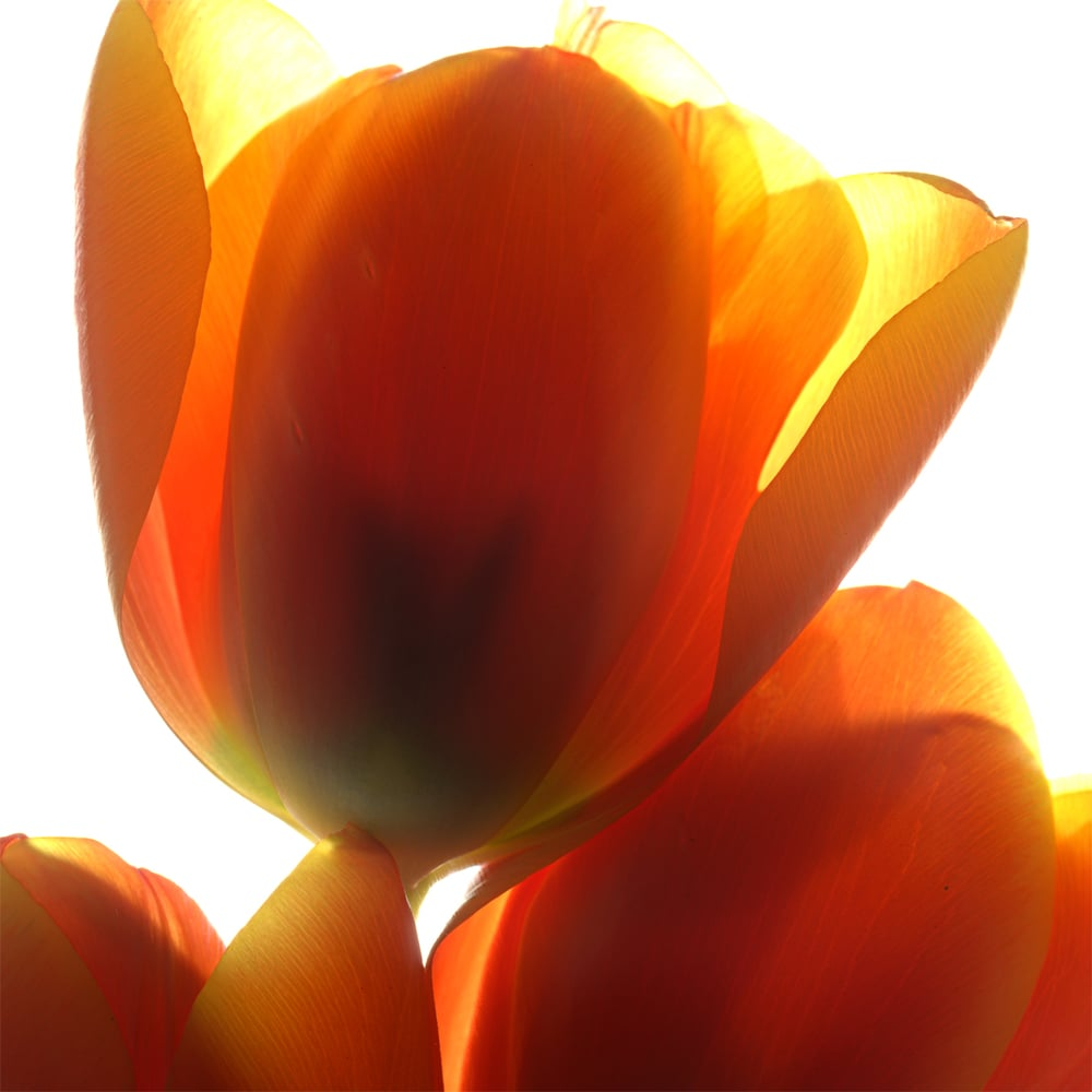 _tulip4-SQ.jpg
