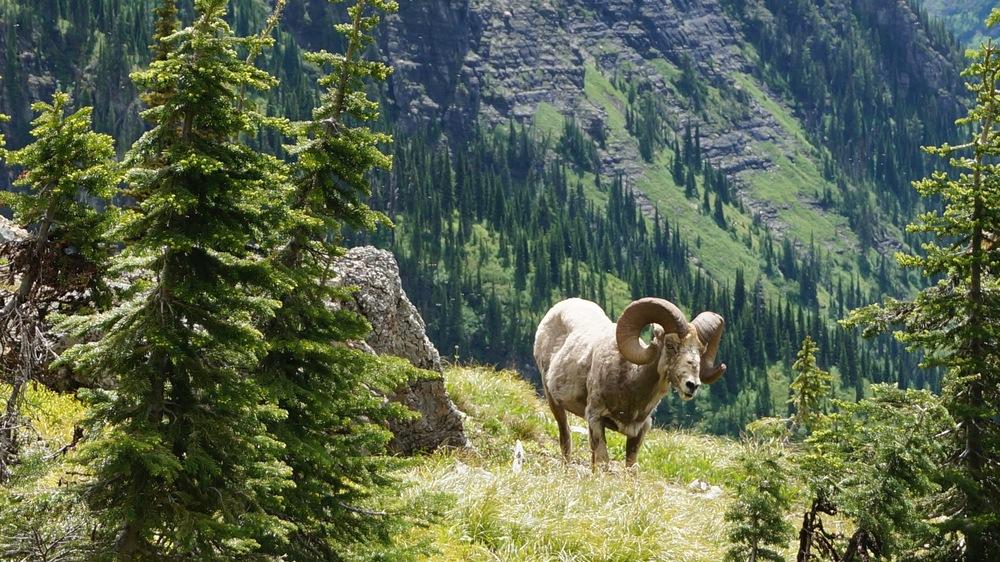 Big Horn Sheep, Glacier National Park