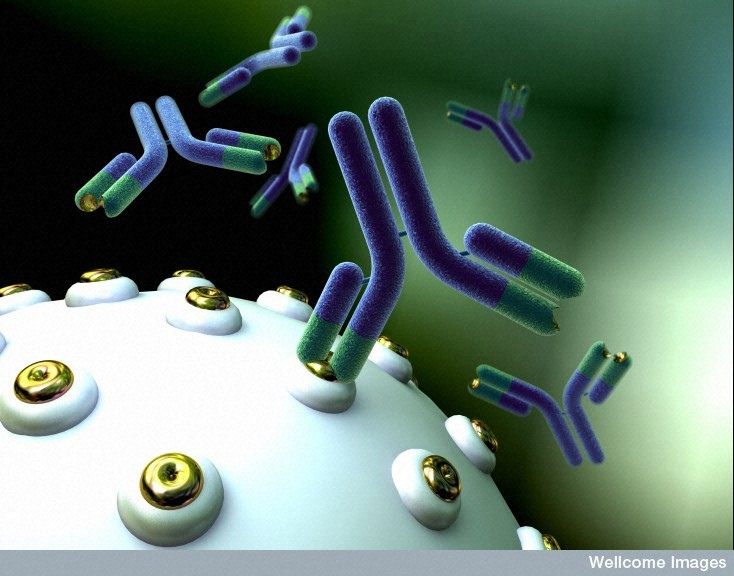 Image credit: Anna Tanczos. Wellcome Images. Antibodies bind to proteins on the surface of a cell.