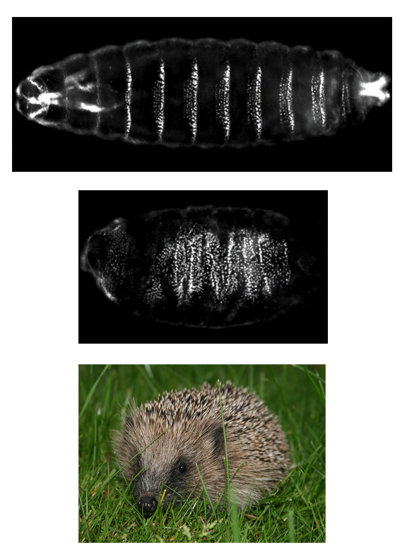 (Top) Fruit fly embryo, white bands define the borders of body segments. (Middle) Embryo of fruit fly with mutated form of hedgehog. The embryo is missing segments and has spike-like structures along its outer surface. (Bottom) European hedgehog. (Modified from Han et al., 2004, CC by 4.0 and European hedgehog (Erinaceus_europaeus), CC BY-SA 2.5)