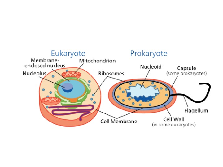 "A eukaryotic cell (left) is more compartmentalized with specific structures and membrane bound organelles. In contrast, prokaryotic cells (right) lack a membrane bound nucleus and organelles. ""Celltypes"" by SVG and NCBI, part of the NIH, and is part of the public domain."