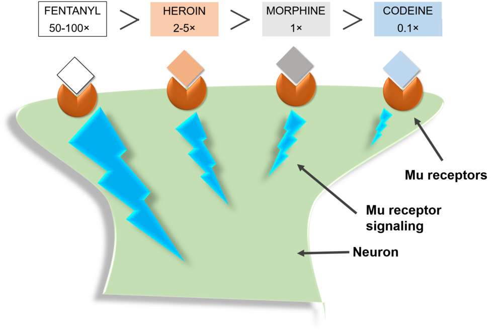 Figure 3: Cartoon of the relative potency of codeine, morphine, heroin, and fentanyl in relation to one another. Differences in potency between opioids occur due to the ability of the drugs to reach the m-receptor, in addition to how tightly they bind the receptor. The strongest opioids, such as fentanyl, will rapidly reach the m-receptor and bind closely to cause the strongest effect. Image credit: Kristina Garske