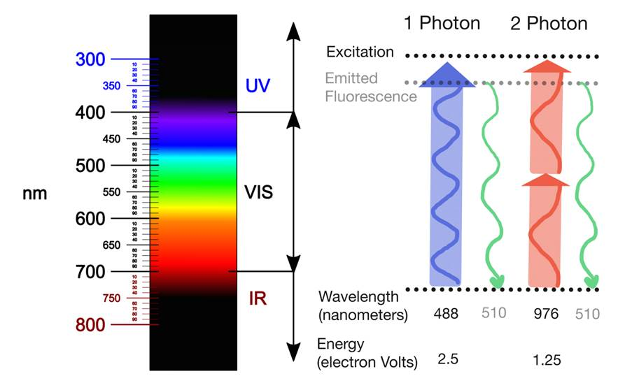 Figure 1: (Left) Light spectrum. Image credit:  Fulvio314 . Licensed under  CC-BY-SA-4.0 . (Right) Light absorption in single-photon versus two-photon fluorescence microscopy. In single-photon microscopy, fluorophores are usually excited by photons in the UV or visual light spectrum. In two-photon microscopy, each photon is usually in the infrared spectrum. In both cases, the emitted fluorescence is the same. Image Credit: Victoria Sun.