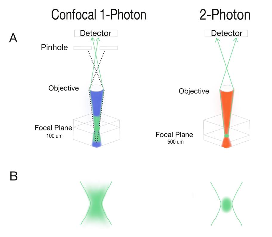 Figure 4: The microscope setup for a single-photon confocal microscope versus a two-photon microscope. A) In single-photon microscopy, light is shone onto the sample and a fluorescent green signal is emitted. However, outside of the focal plane, other areas of the tissue have secondary fluorescent signals. The pinhole blocks the detector from receiving these interfering, noisy signals. In two-photon microscopy, there is no need for a pinhole. Green fluorescence is restricted to the focal plane. This allows two-photon microscopy to view deeper into the tissue with more precision and better resolution. B) Fluorophores in single-photon microscopy are excited not only at the focal plane, but also in surrounding tissue. Meanwhile in two-photon microscopy, two photons only meet each other at the focal plane and excite the tissue far more selectively. Image Credit: Victoria Sun.