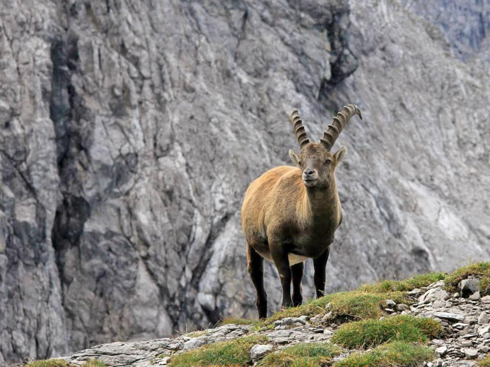Cabra alpina_Alemania_2014.jpg