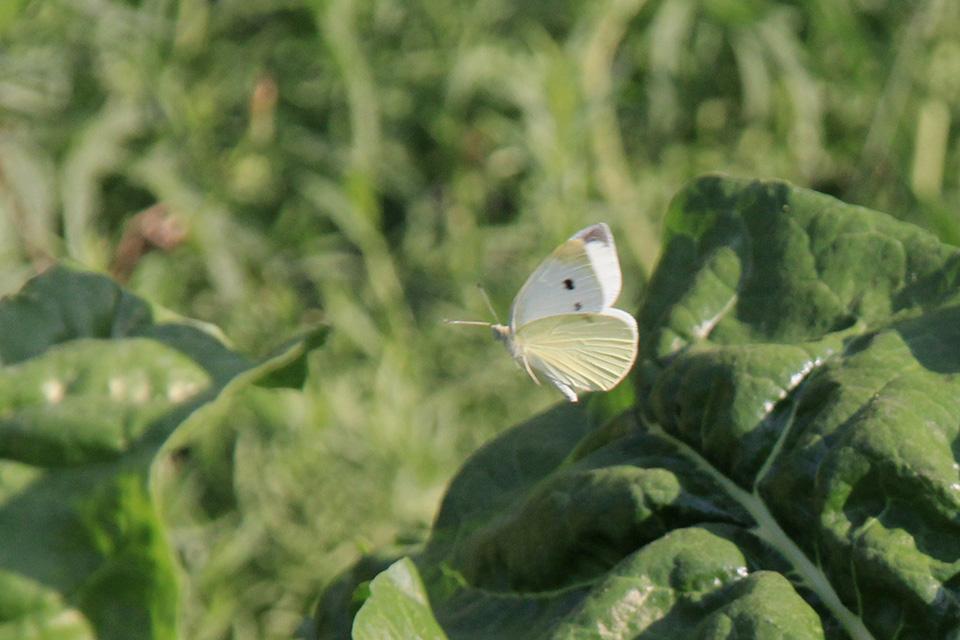 Mariposa de la col o blanca de la col ( Pieris brassicae )