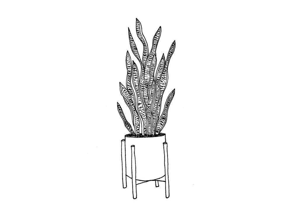 _webSnake-plant.jpg