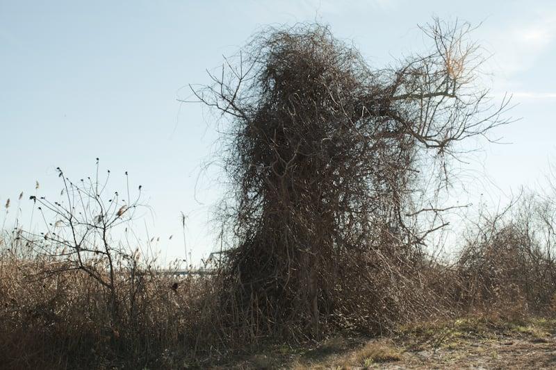 J UBOKKO.A vampire tree
