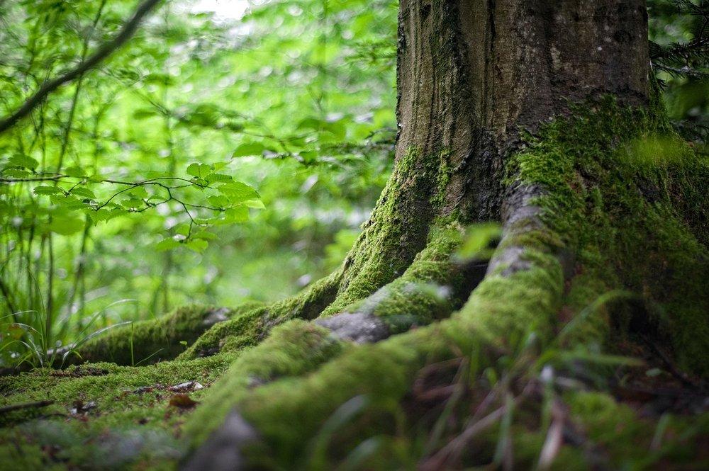 pixabay - tree roots