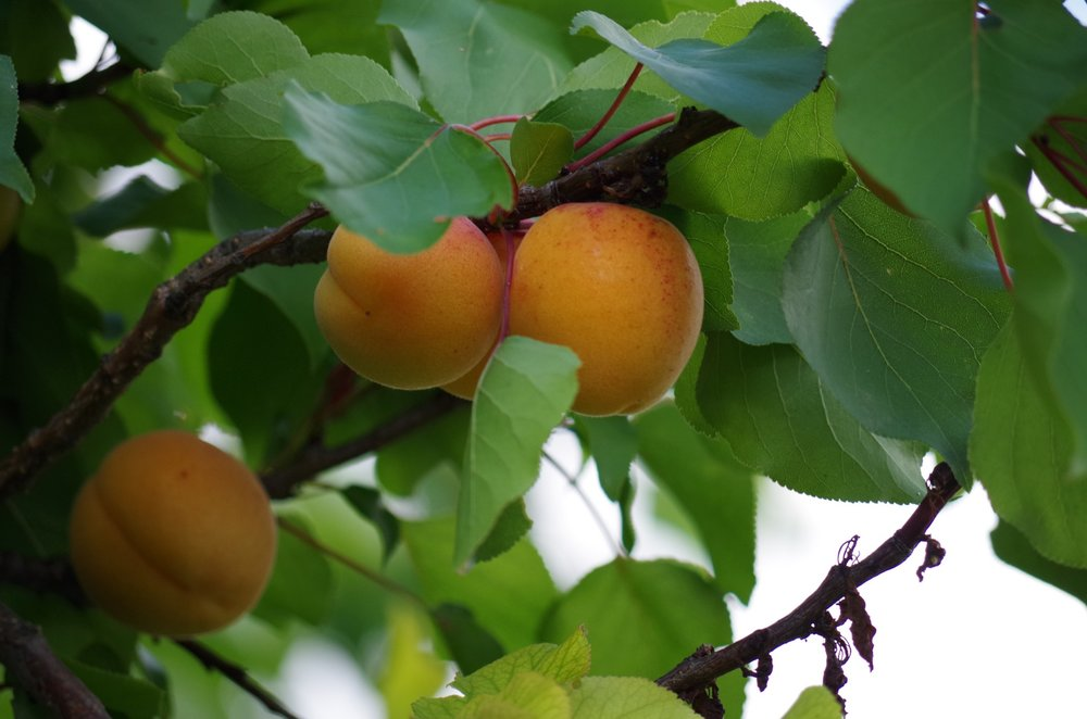 Pixabay - fruit on the tree
