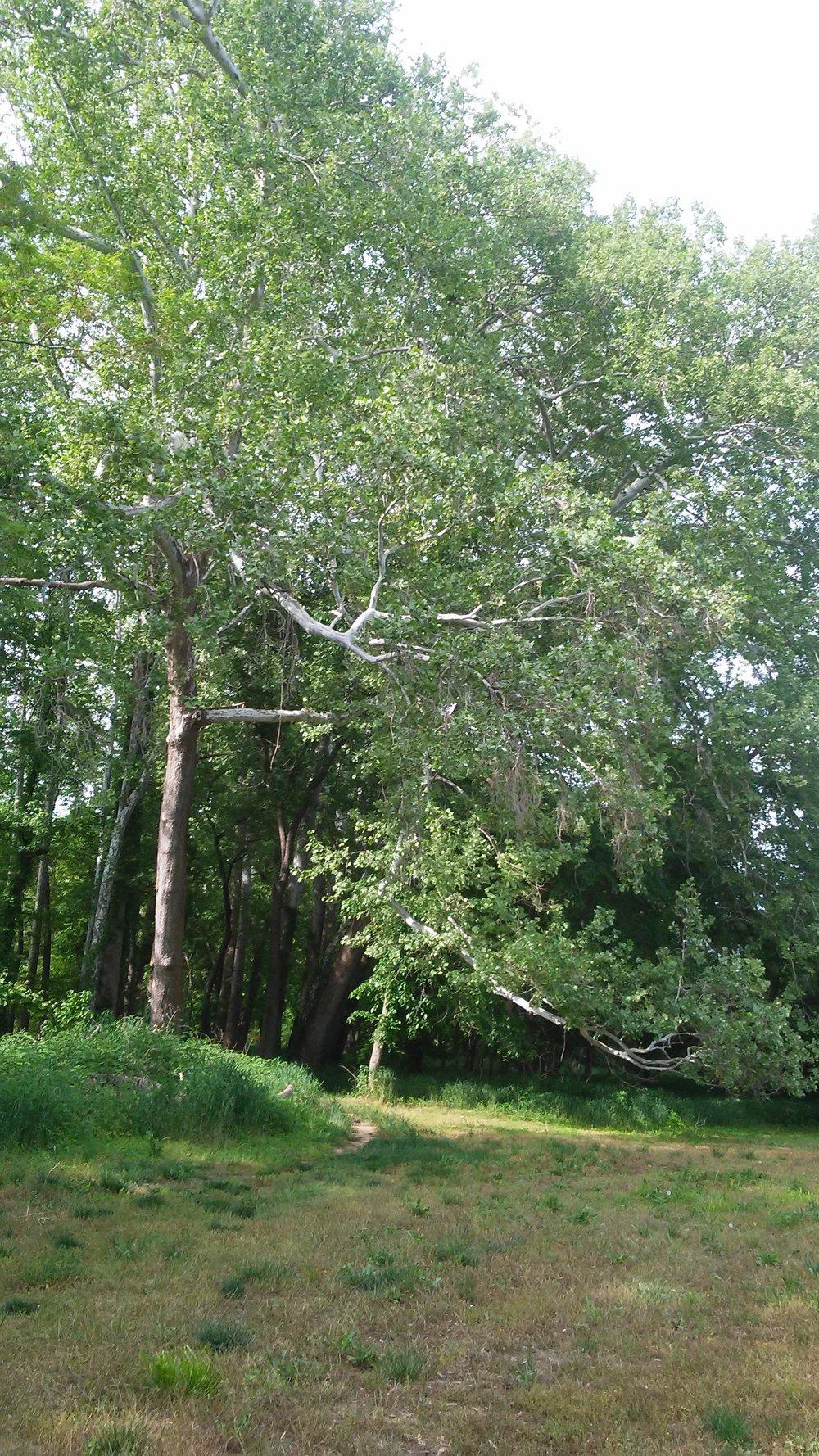 Determined birch tree