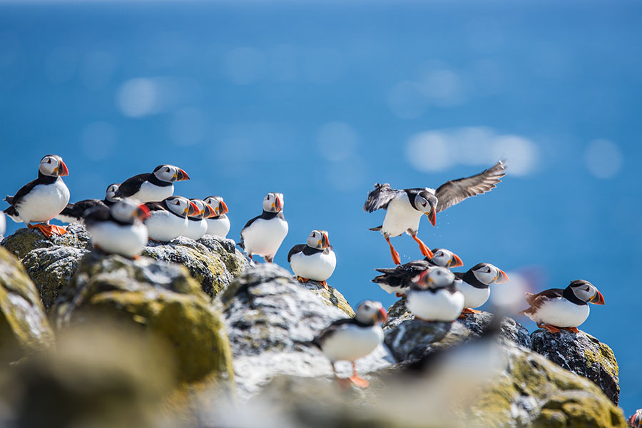 Puffins-Isle-of-May-Scotland.jpg