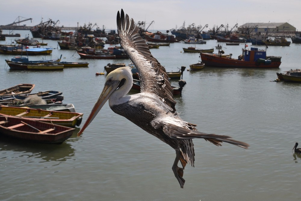 A pelican lands at the bustling port of Arica. I also find pelicans difficult to communicate with .