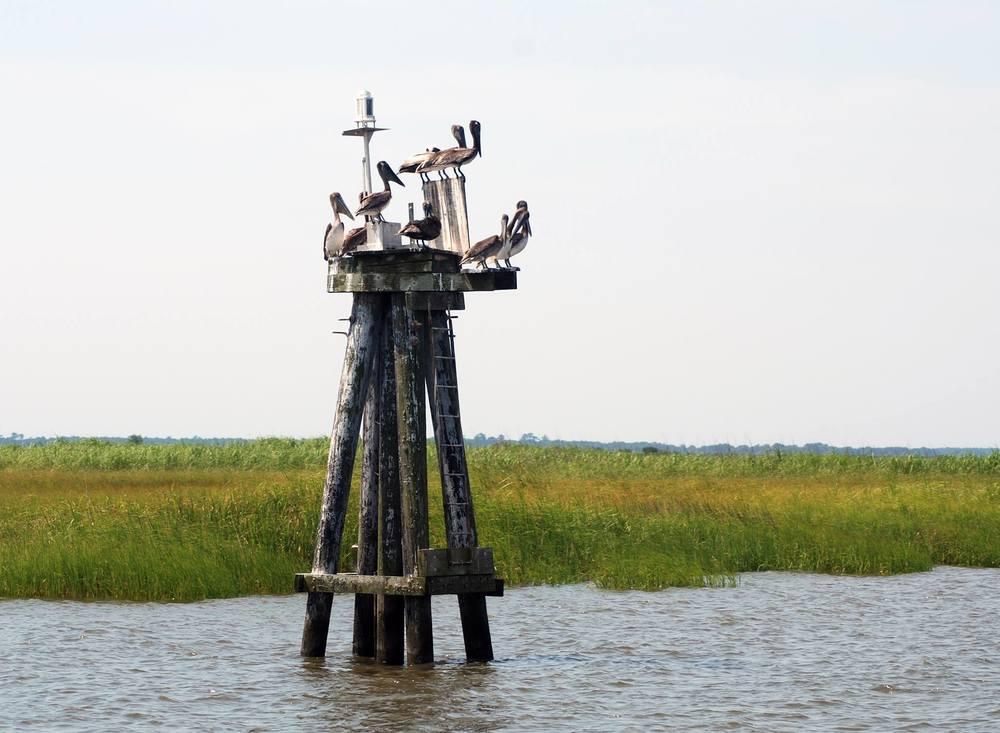 ipc pelicans.jpg