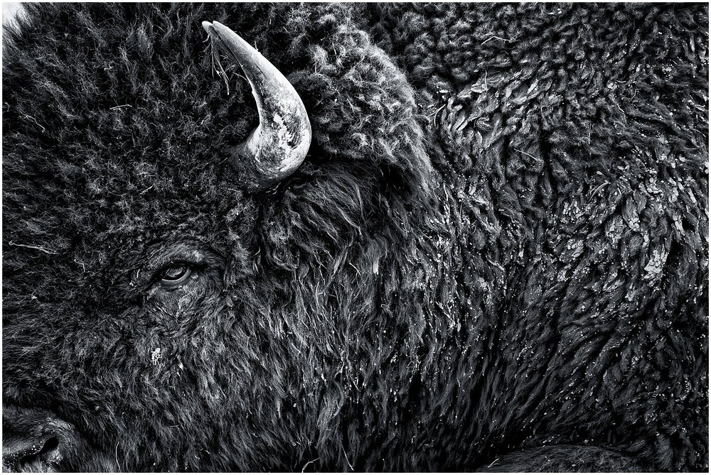 Awesome black and white Bison portrait