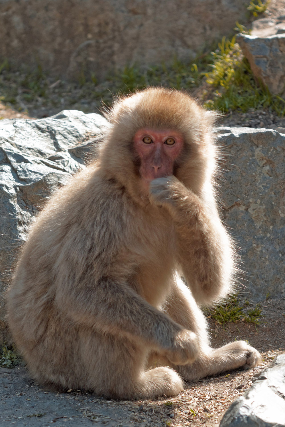 Japanese snow monkey looking and observing curiously