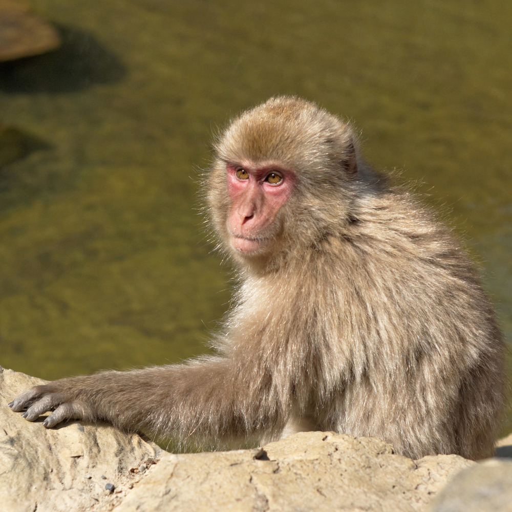japanese snow monkey resting under the sun and observing wisely
