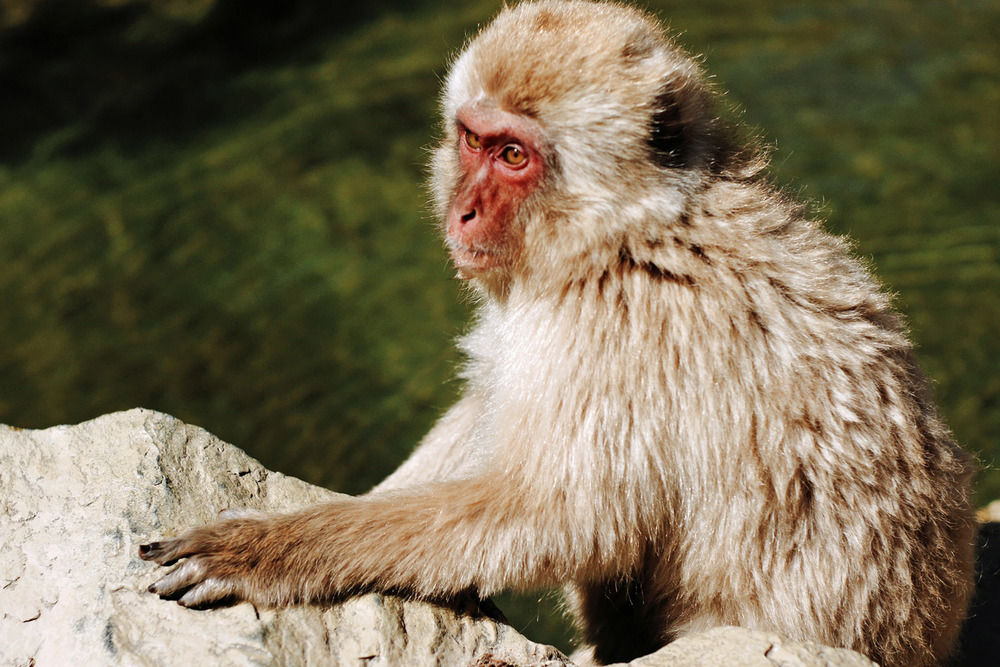 japanese snow monkey resting under the sun