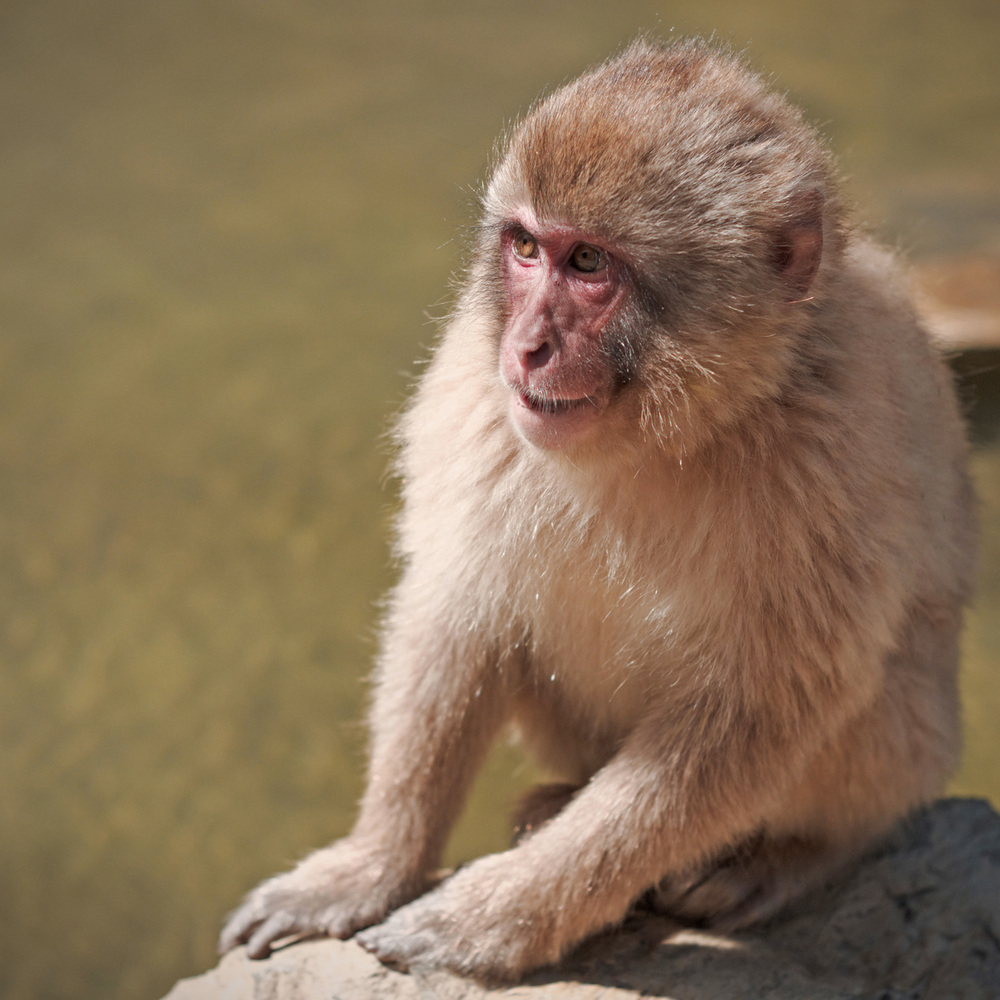 japanese snow monkey observing under the sun