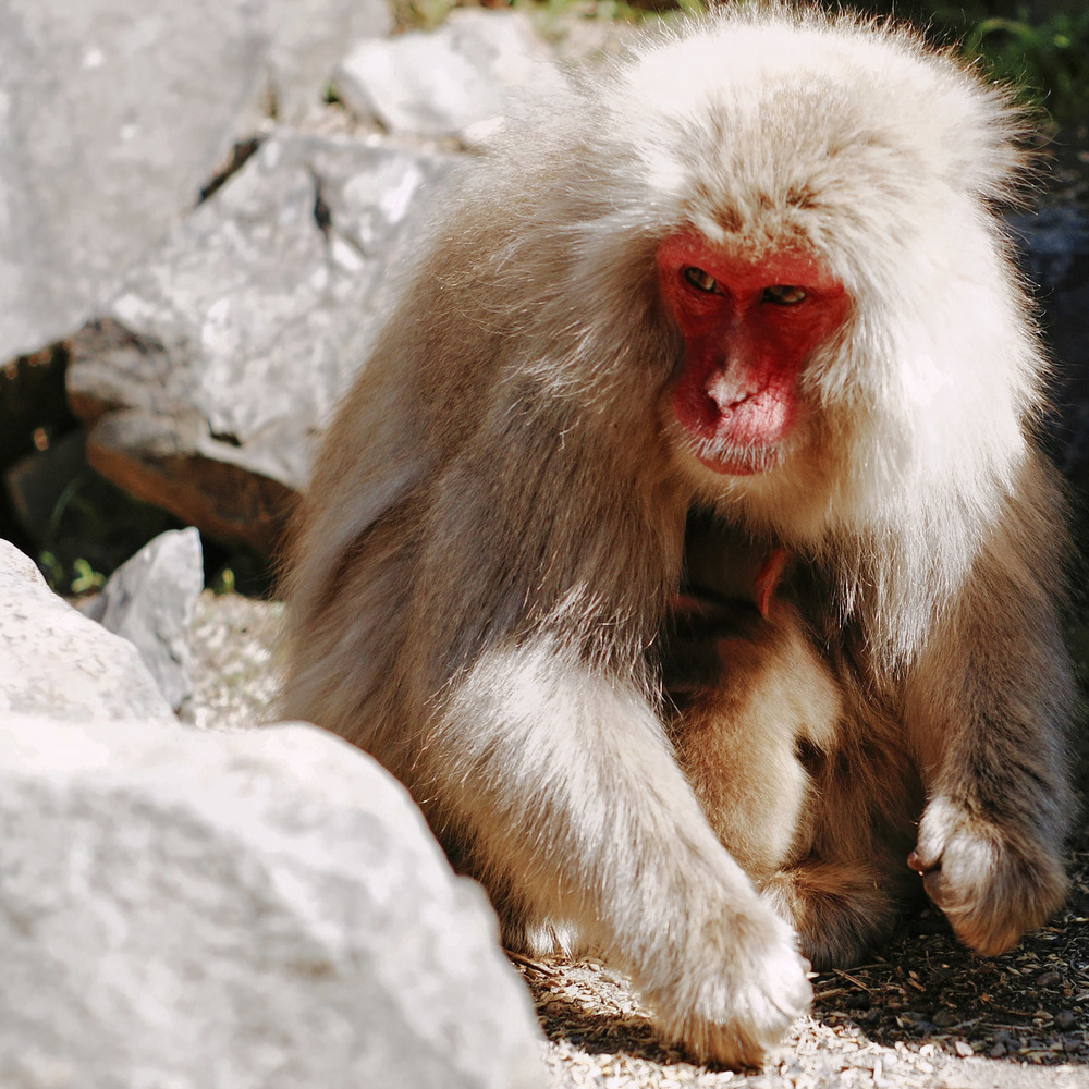 Japanese snow monkey observing in order to protect its baby
