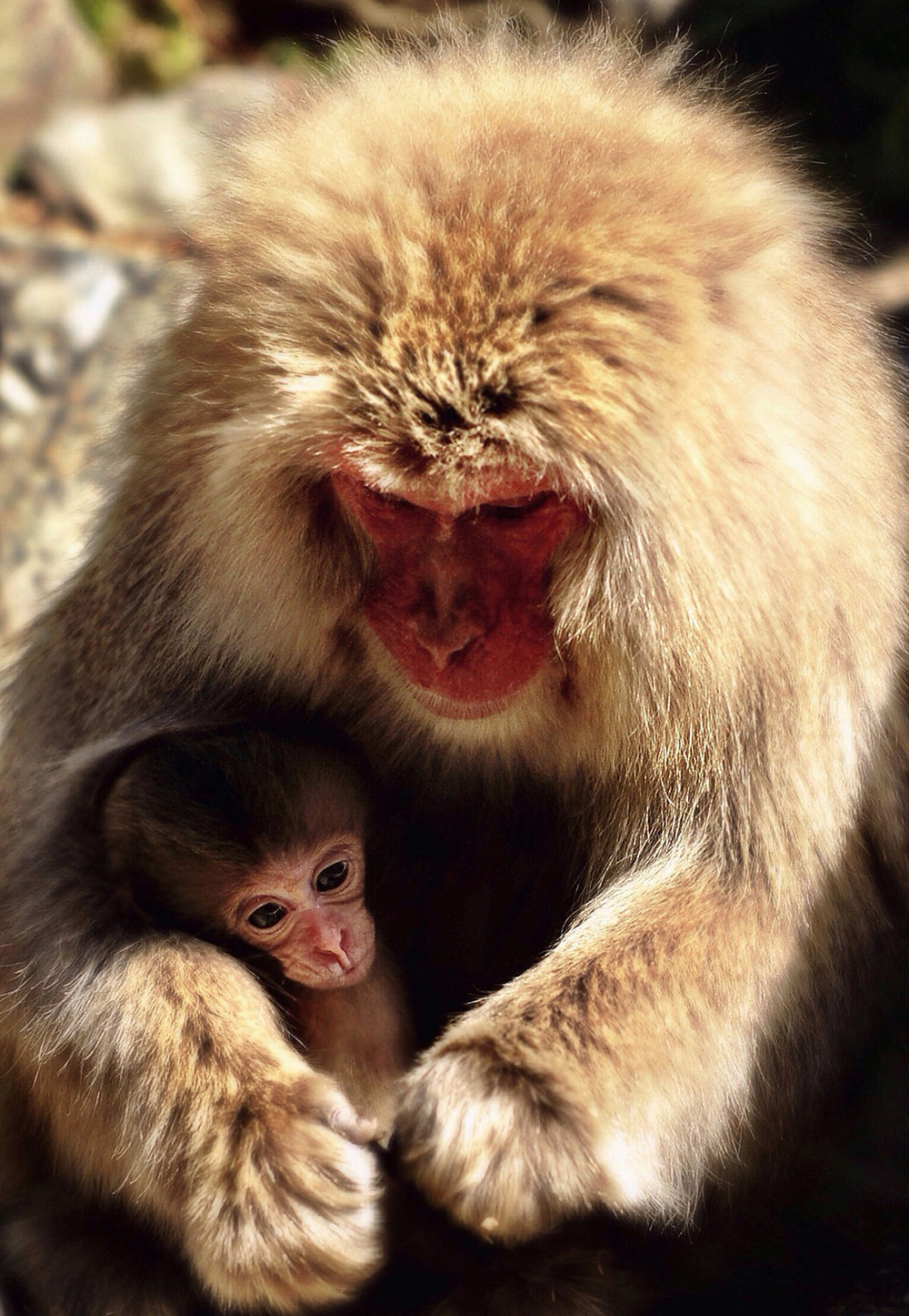 japanese snow monkey feeding its baby