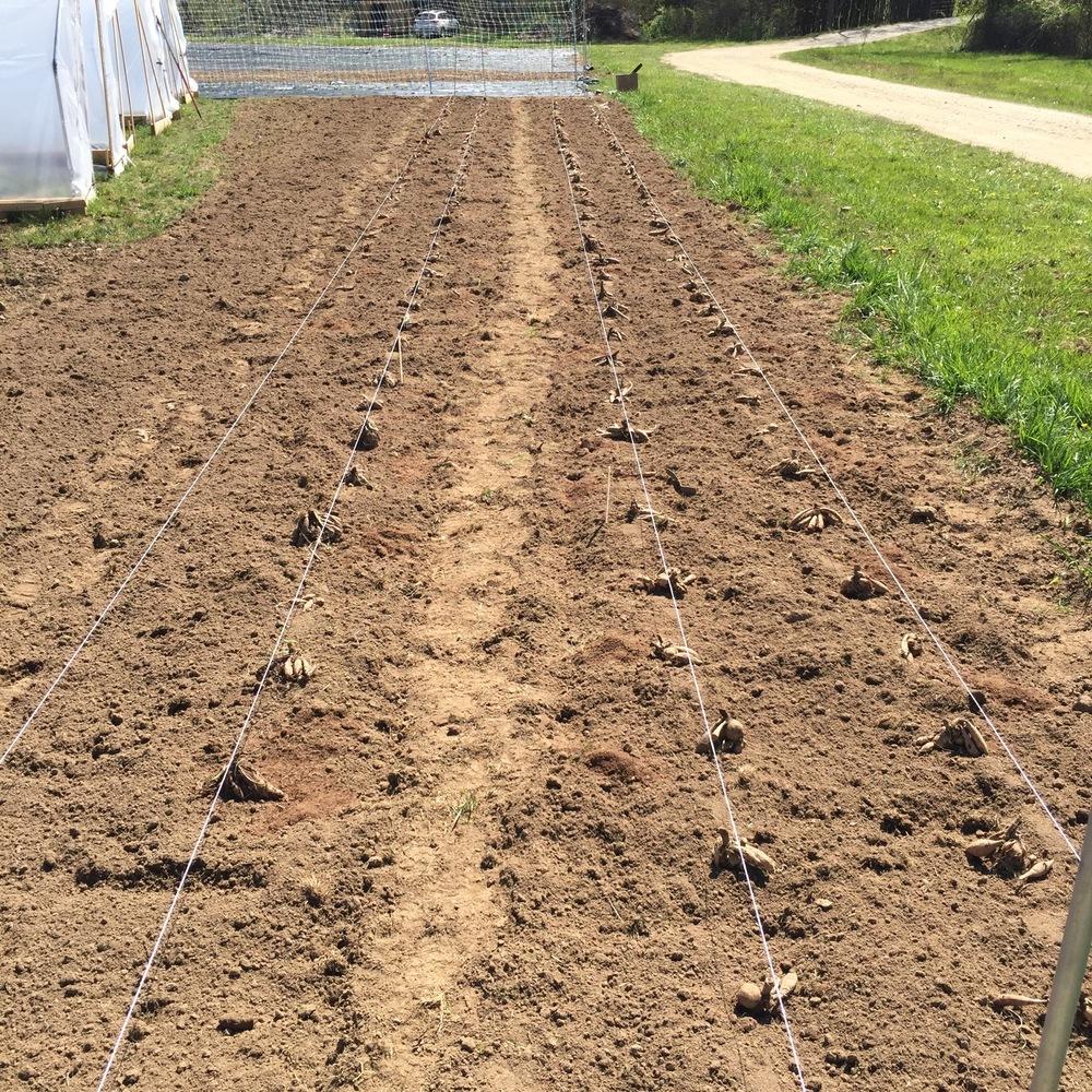 Planting dahlias!