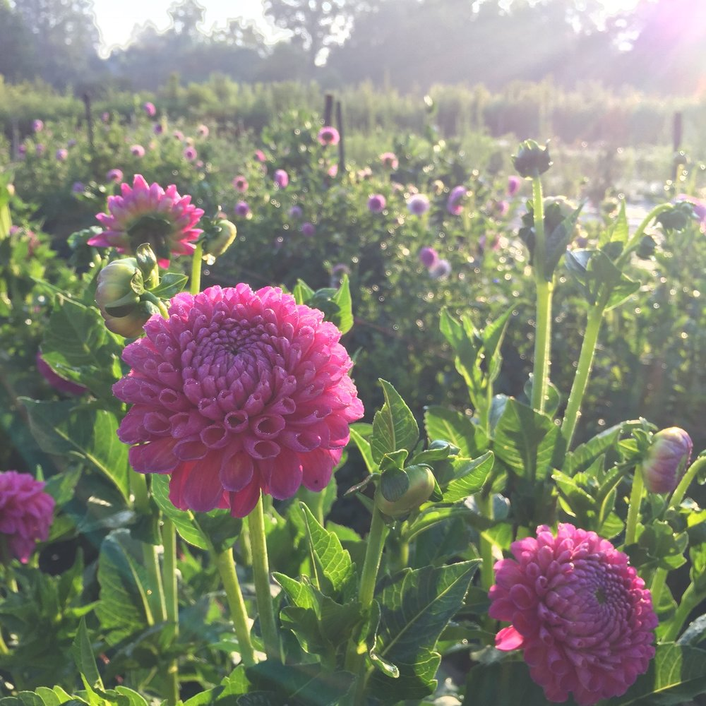 Dahlia Season Is Finally Here Flourish Flower Farm