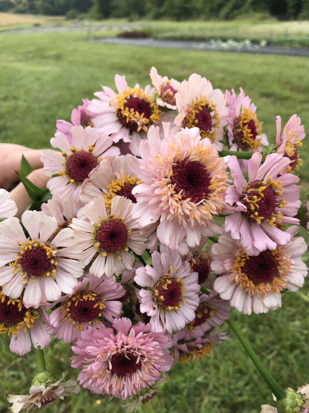 - Zinderella Lilac