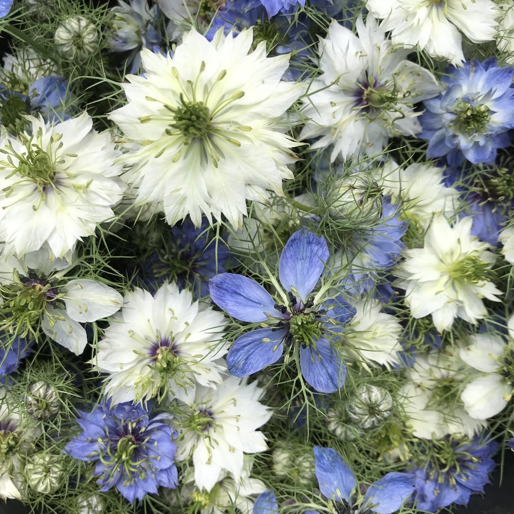 Nigella - Also known as Love in the MistFavorite varieties: Miss Jekyll mix and African Bride
