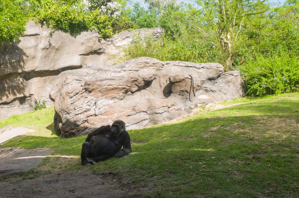 Gorilla-Q
