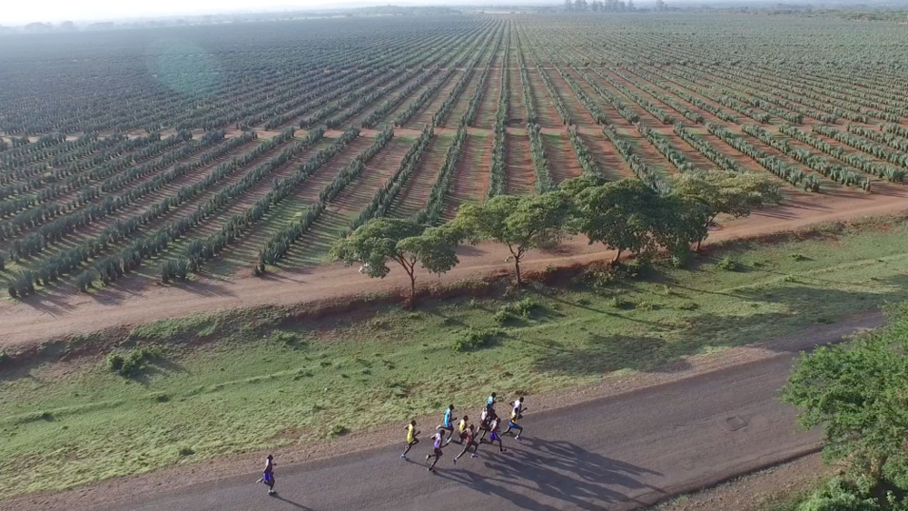The lead pack before a backdrop of Sisal Plantations...