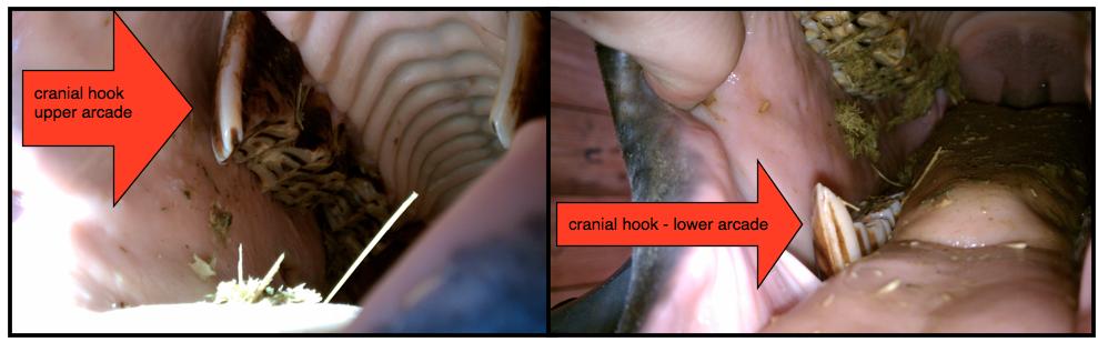 cranial hooks.png